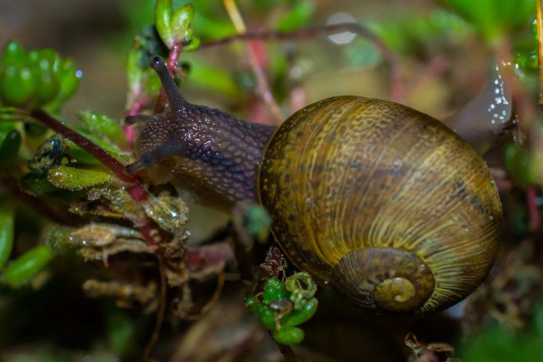 puž, beskralješnjaka, gastropod, zrno, vrt, hrana, priroda, ljuske