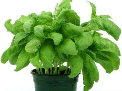 leaf, basil, spice, nature, herb, flora, aromatic, plant, leaves