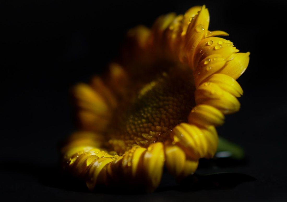 fleur, nature, flore, jaune de jardin, beau, tournesol, pétale,