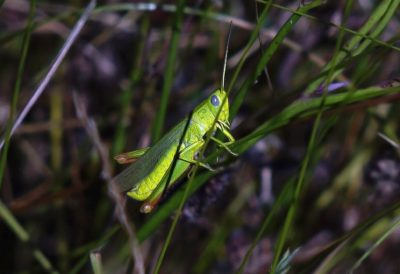 nature, wildlife, animal, insect, leaf, grasshopper, camouflage, invertebrate