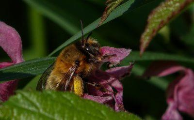 Bee, natur, insekt, blomst, blad, flora, honning, pollen