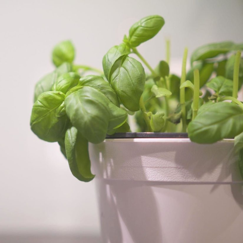 leaf, basil, spice, aromatic, flora, herb, houseplant, plant, leaves