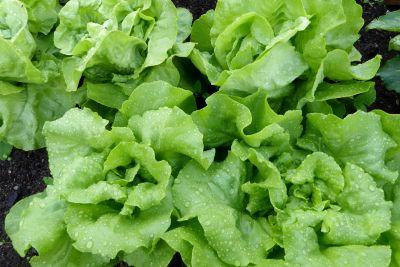chlorophyll, lettuce, vegetable, leaf, food, flora, salad, herb, organic, vegetarian
