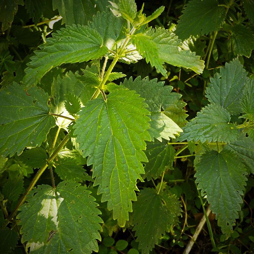 nettle, leaf, nature, flora, tree, plant, leaves