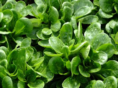 Flora, zeleniny, leaf, šalát, poľnohospodárstvo, potraviny, príroda, farmy