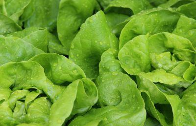 zelena salata, list, hrane, povrća, flore, salata, priroda, poljoprivreda