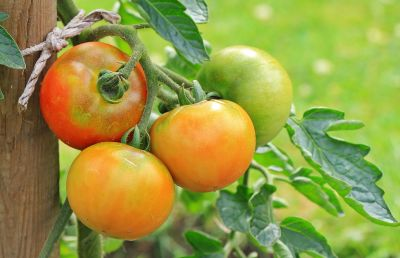 fruit, food, leaf, delicious, nutrition, nature, garden, tomato
