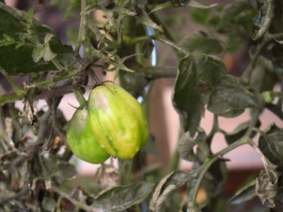 tomato, food, agriculture, leaf, nature, branch, flora