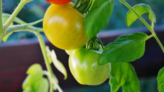 tomato, food, leaf, fruit, nature, vegetable, nutrition, delicious