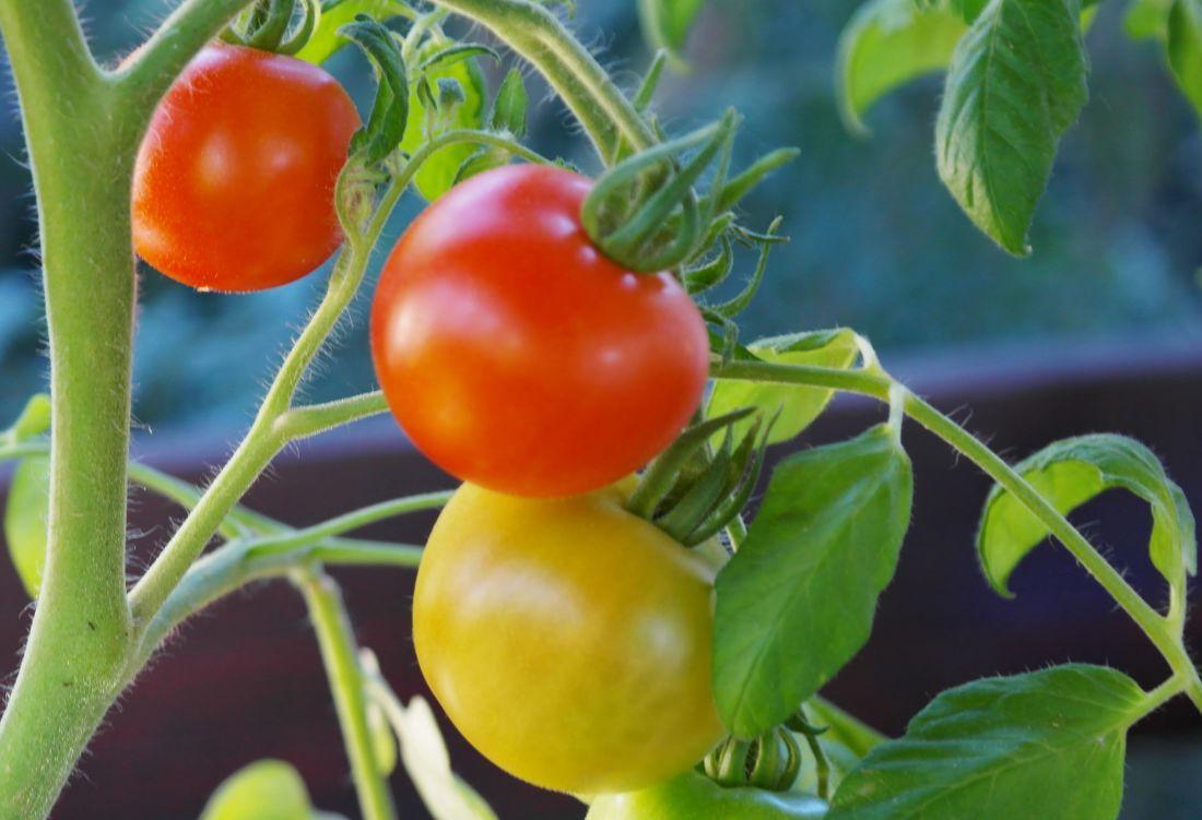 thực phẩm, thực vật, lá, trái cây, thiên nhiên, dinh dưỡng, cà chua, vườn, ngon