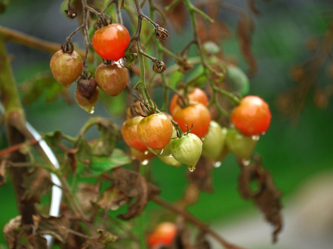 ovoce, jídlo, rajče, listí, příroda, větev, rostlina