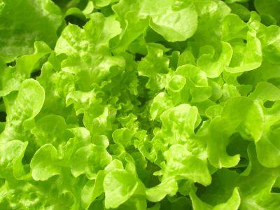 lechuga, vegetales, clorofila, hojas, alimentos, flora, ensalada, naturaleza, hierba, orgánica