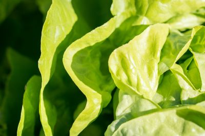 leaf, vegetable, flora, nature, lettuce, food, herb, salad, organic