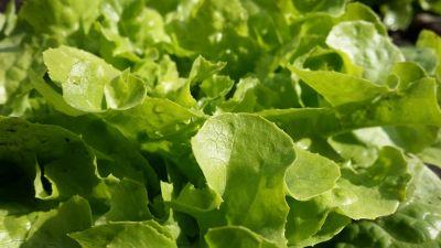 상 추, 야채, 음식, 잎, 샐러드, 식물, 녹색, 자연, 허브