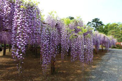 flower, nature, flora, tree, garden, leaf, lupine, acacia