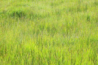 grass, field, nature, flora, grain, lawn, plant, meadow