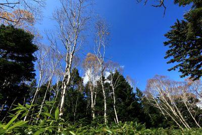 tree, wood, landscape, nature, birch, forest, plant, poplar, sky