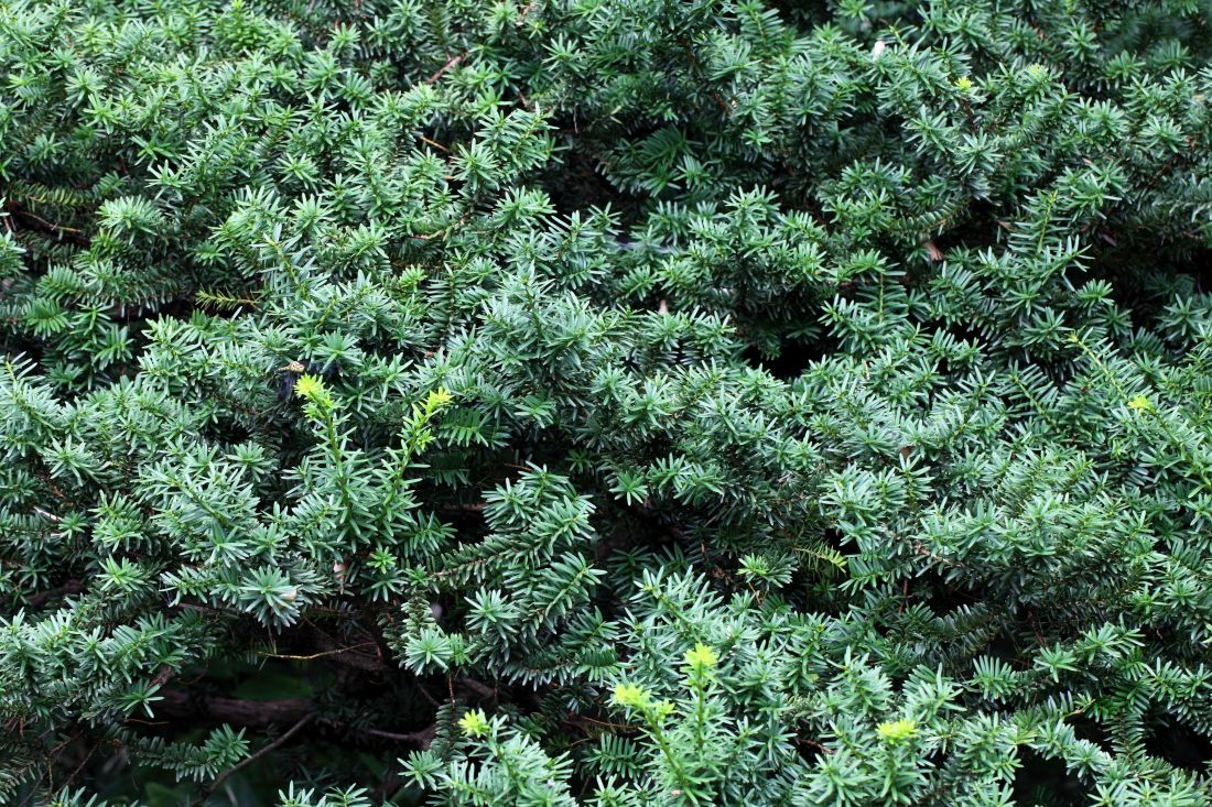 natur, trä, flora, träd, löv, buske, evergreen, växt, ört