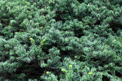 Thiên nhiên, gỗ, thực vật, cây, lá, cây bụi, thường xanh, thực vật, thảo mộc