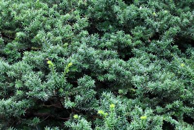 Natur, Holz, Flora, Baum, Blatt, Strauch, immergrün, Pflanze, Kraut