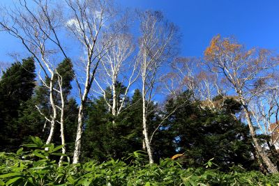 copac, lemn, peisaj, natura, frunze, mesteacan, plop, pădure, plante