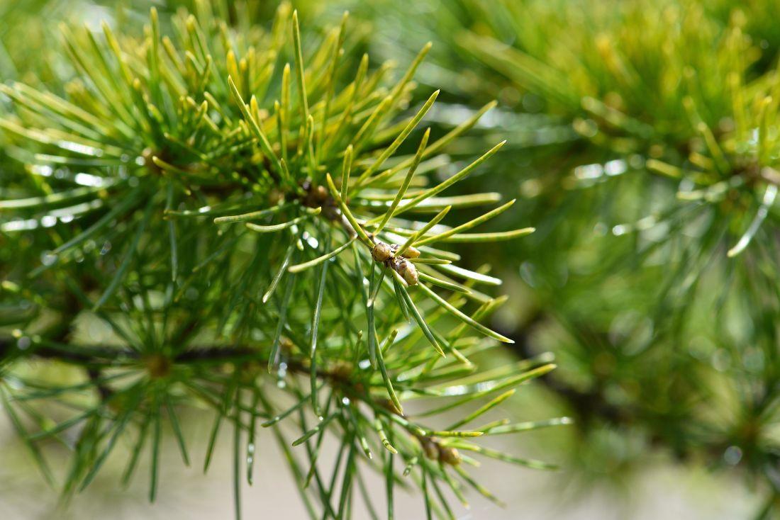 вечнозеленый, природа, сосна, филиал, дерево, Хвойное дерево, лес, макро