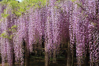 flower, acacia, tree, branch, garden, flora, nature