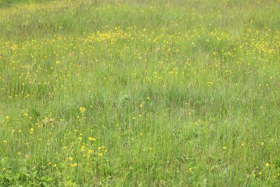 veld, gras, natuur, zomer, grasland, flora, kruid, weide