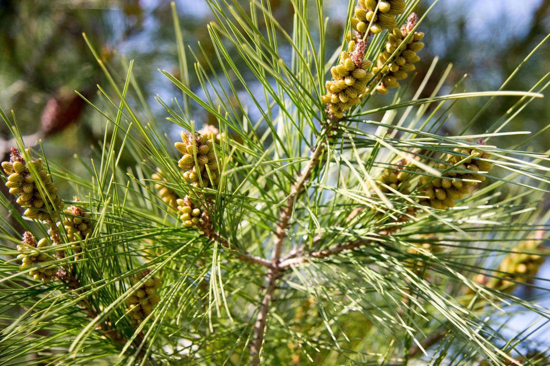Baum, Natur, immergrün, Zweig, Kiefer, Pflanze, Nadelbaum, grünes Blatt, Fichte