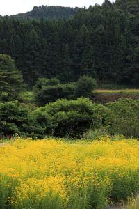 paisaje, árbol, madera, naturaleza, semillas oleaginosas, rabina, semilla, campo