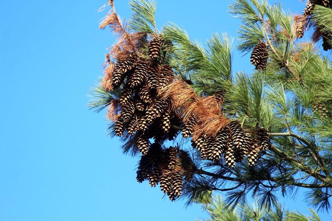 strom, příroda, rostliny, borovice, keř, obloha, jehličnatý, léto, dřevo, větev, smrkové