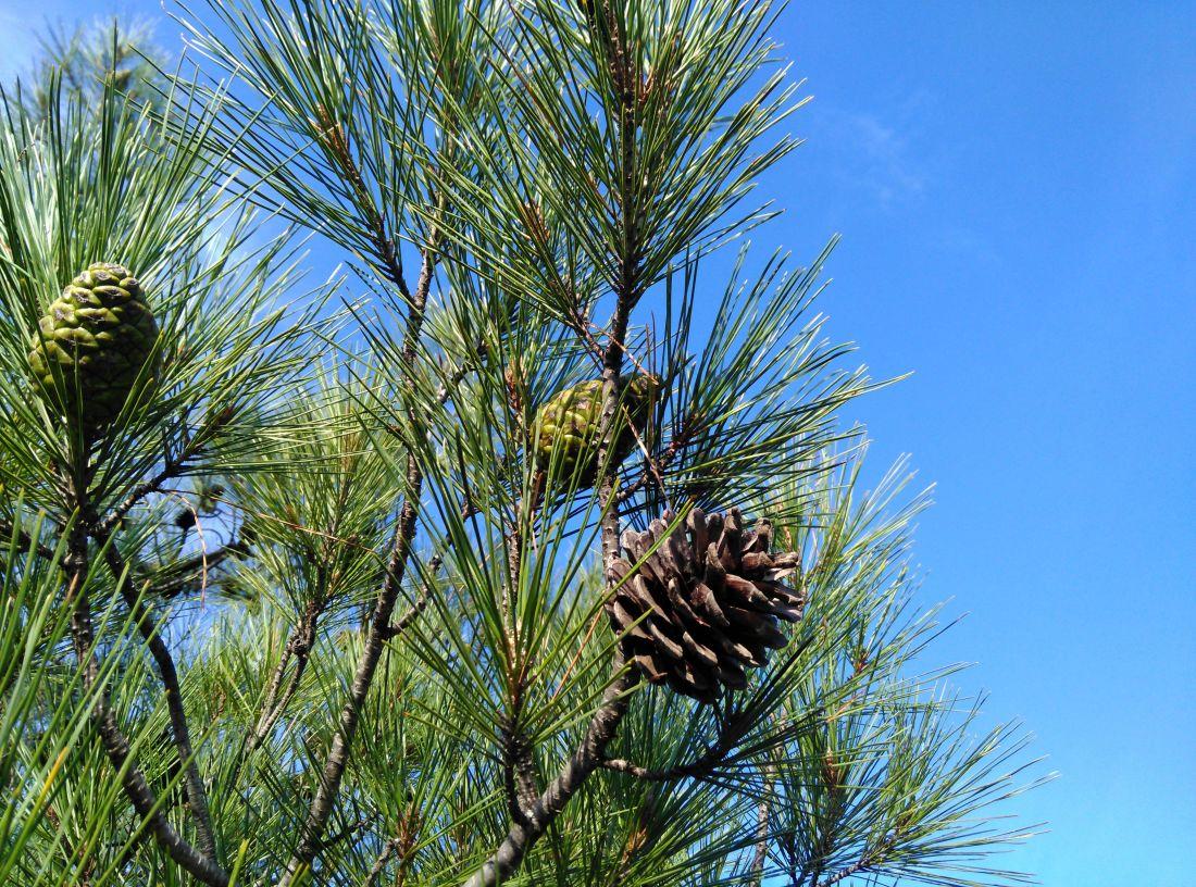 drzewa, sosna, evergreen, conifer, natura, iglaste, gałąź, Las