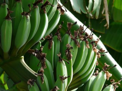 banán, ovocie, plantáže, zelené, potravín, rastlín