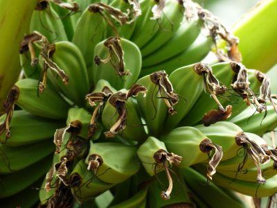 banana, nature, fruit, food, plant, vegetable, potassium, diet, green