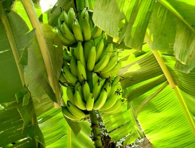 banana, leaf, nature, flora, fruit, plantation, summer, plant