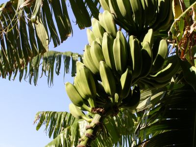 tree, banana, nature, flora, leaf, plant, fruit, sky, exotic