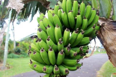 banana, fruit, food, plant, exotic, nature, organic