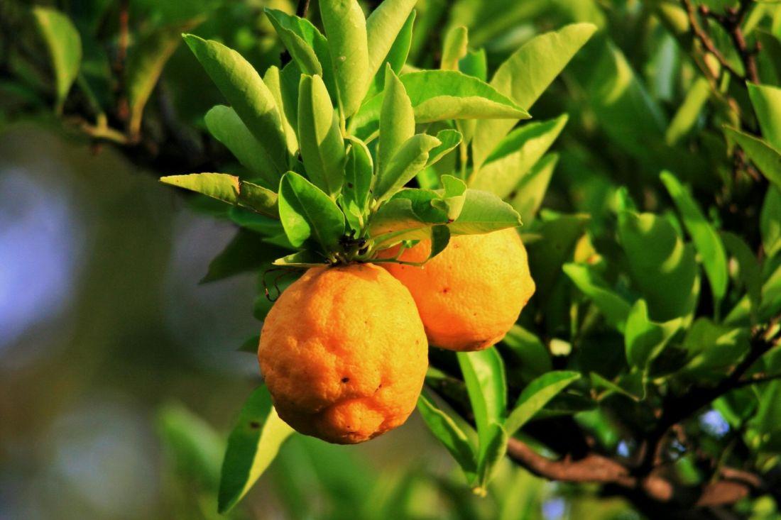 image libre feuille nature fruit arbre flore branche jardin nourriture agrumes. Black Bedroom Furniture Sets. Home Design Ideas