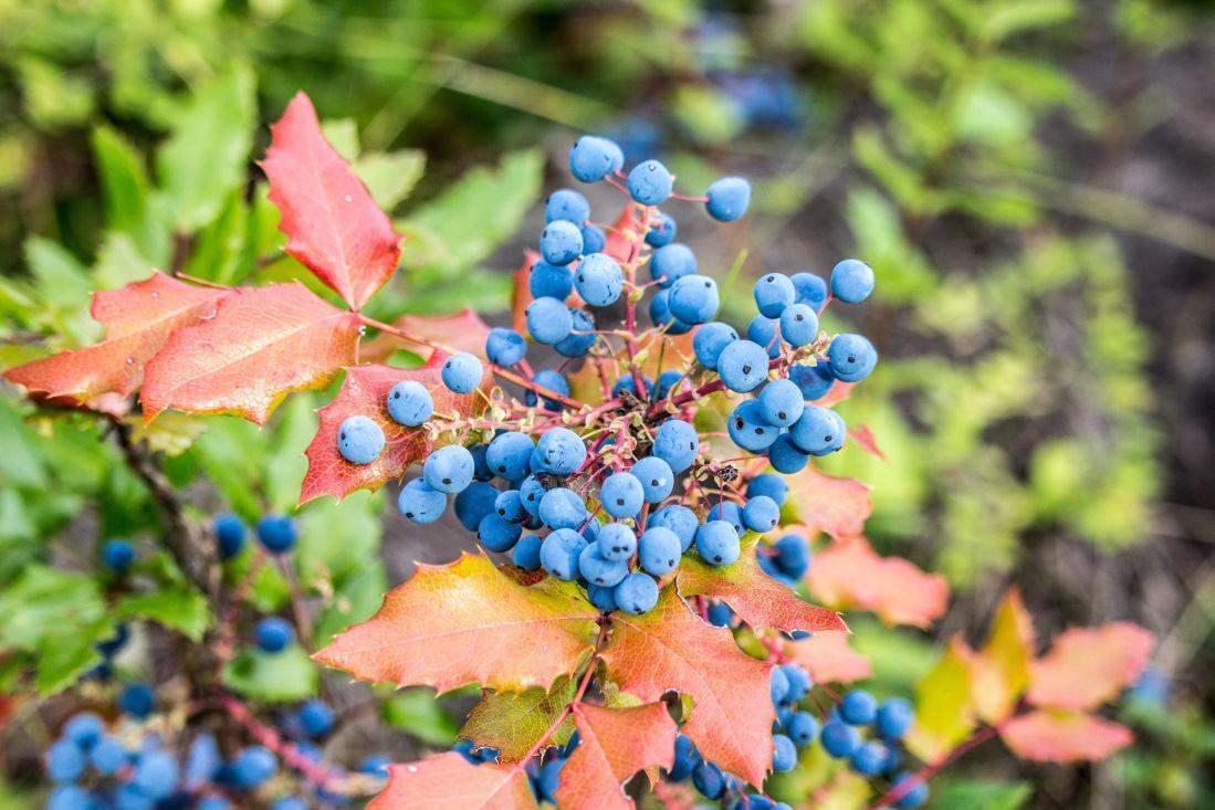 nature, feuilles, flore, arbre, arbuste, plante, myrtille