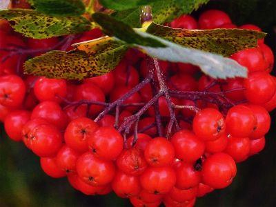 fruit, bessen, voedsel, blad, natuur, struik, planten, bessen, boom