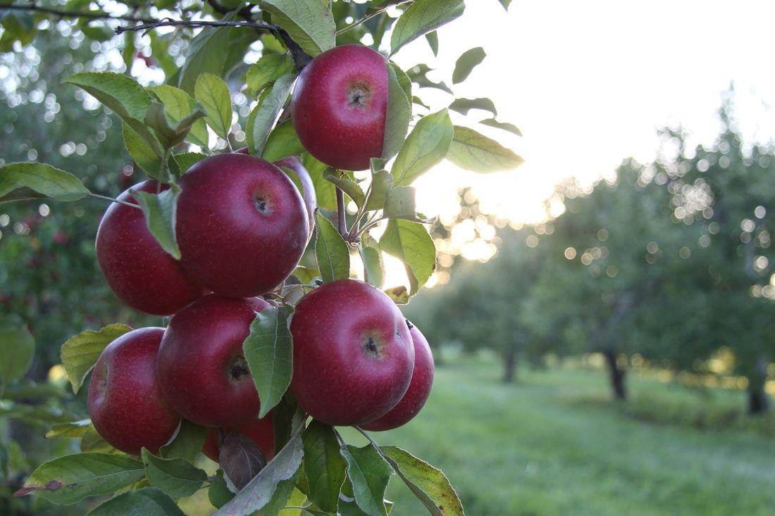 fruits, feuilles, nature, nourriture, jardin, pomme, arbre, verger, délicieux