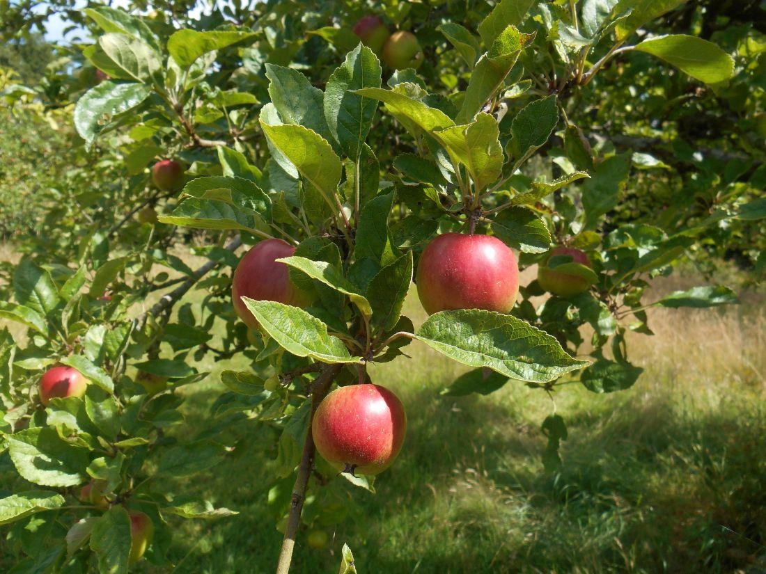 φρούτα, φύλλα, φύση, οπωρώνα, δέντρο, υποκατάστημα, τροφίμων, μήλο, Κήπος, γεωργία