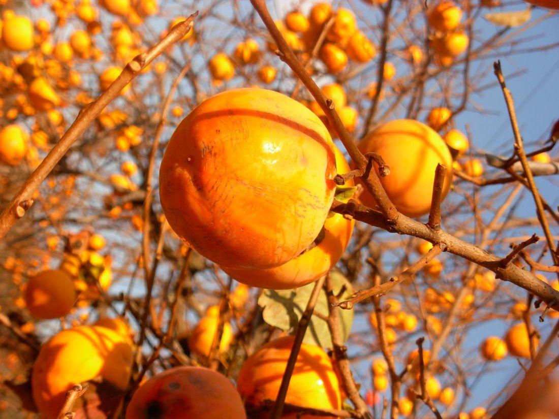 ovoce, strom, větve, listí, příroda, berry, podzim