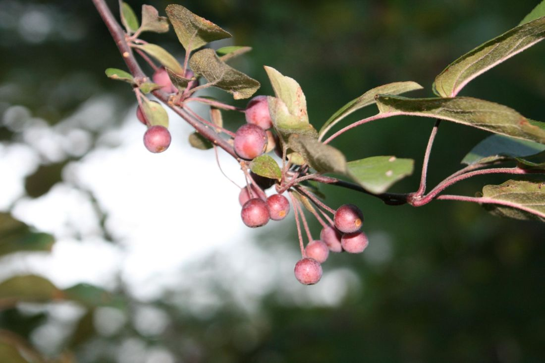 tree, nature, leaf, branch, flora, fruit, garden, flower, shrub