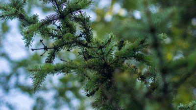 Tree, PIN, evergreen, natura, conifere, filiala, Molid