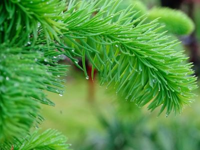 nature, tree, winter, pine, branch, evergreen, spruce, leaf, conifer