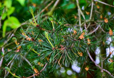 tree, nature, evergreen, branch, pine, conifer, leaf, flora, plant