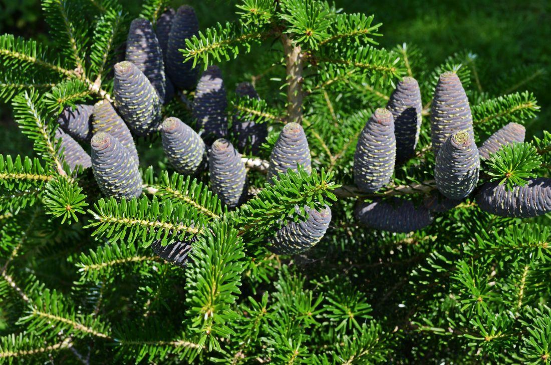 Imagen gratis pino naturaleza rbol abeto hoja perenne for Cuales son los arboles perennes