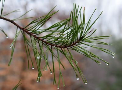 tree, nature, dew, evergreen, branch, winter, leaf, conifer, pine, flora