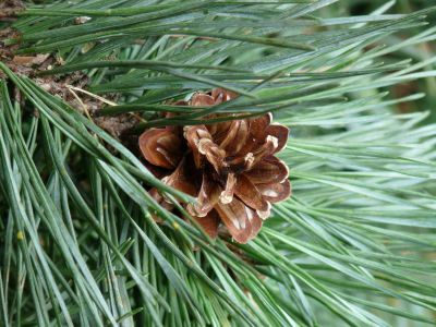 pine, tree, evergreen, nature, conifer, flora, winter, leaf, branch